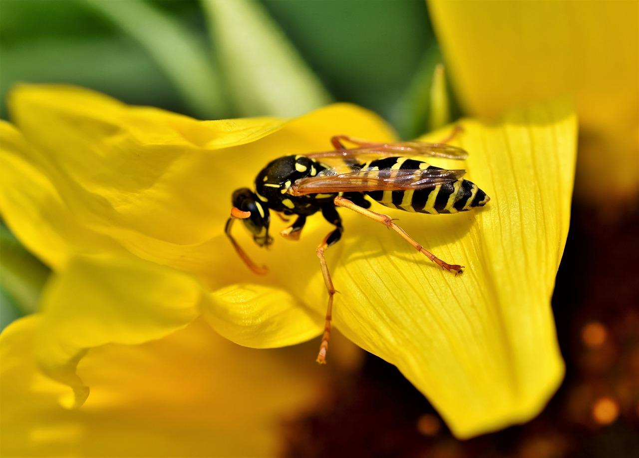 Wat te doen tegen wespen in huis?