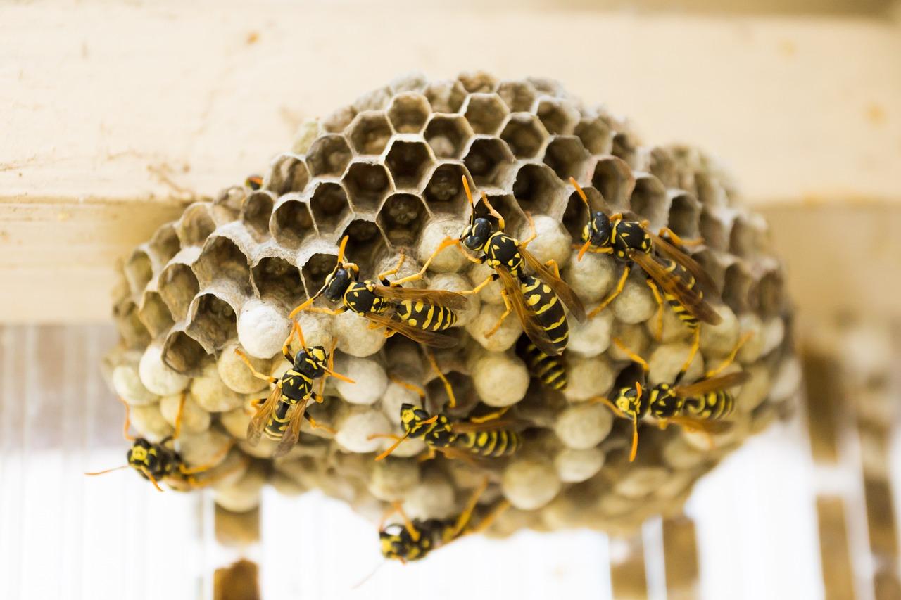 Wespen bestrijden moet op een goede manier gedaan worden